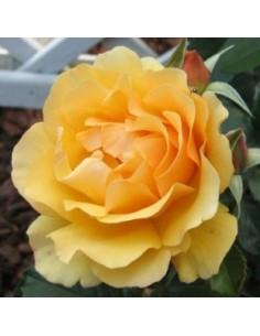 """Rosier floribunda """"Amber queen"""""""