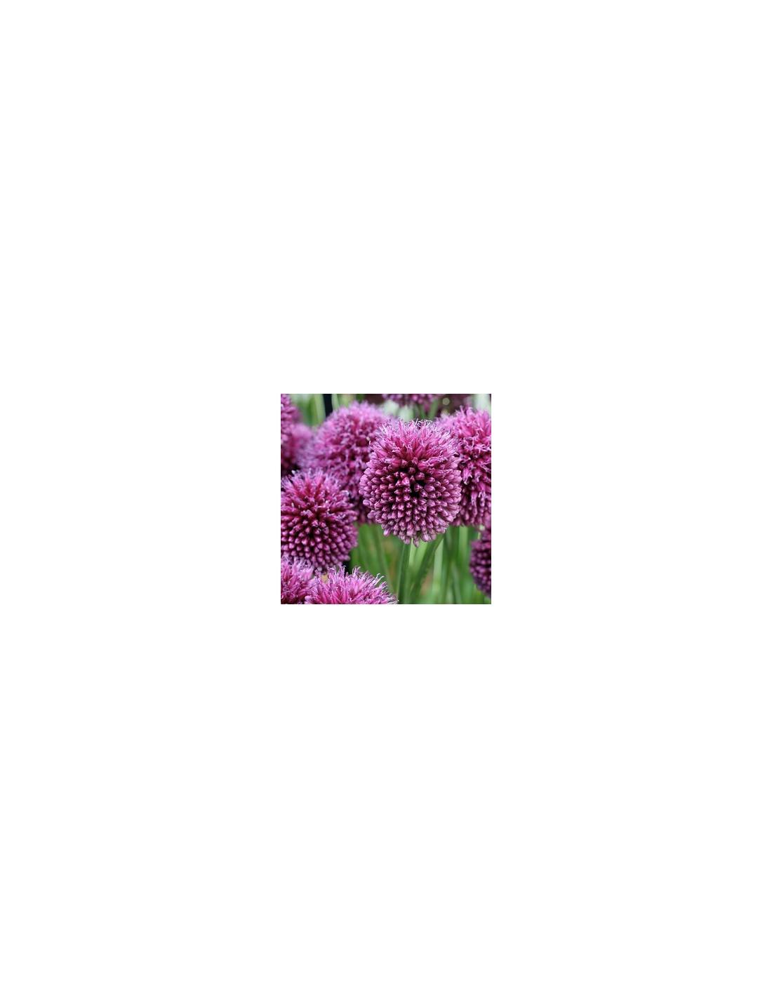 bulbes ail d 39 ornement t te ronde 25 les jardins d. Black Bedroom Furniture Sets. Home Design Ideas