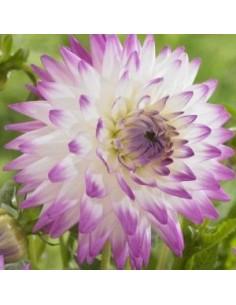 Dahlia cactus Jura