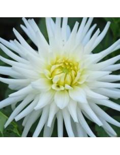 Dahlia cactus my love