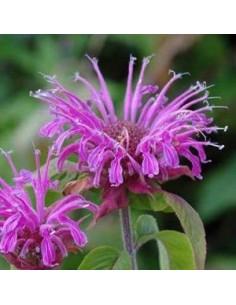 Monarde hybride Violet Queen