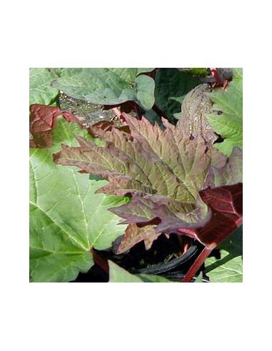 rhubarbe d corative tanguticum les jardins d 39 hauti re On rhubarbe dà corative