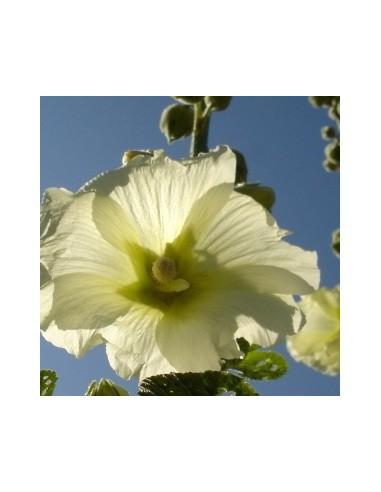 Arabis Alpina Snowcap Blanc arabettes 75 graines