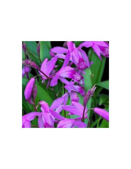 Orchidée jacinthe