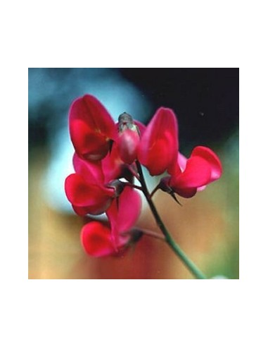 """Pois vivace """"Red pearl"""""""