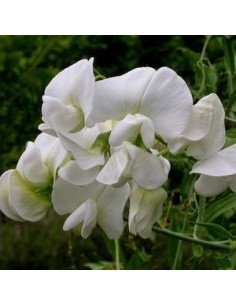 """Pois vivace """"White pearl"""""""