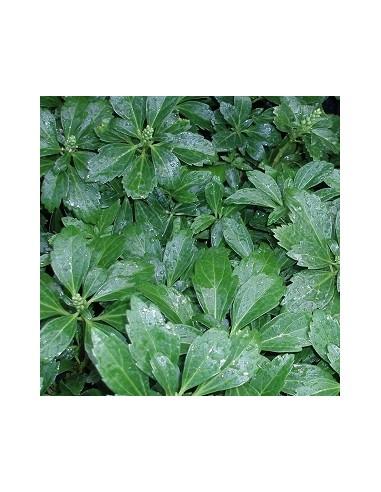 "Pachysandra terminalis ""Green carpet"""