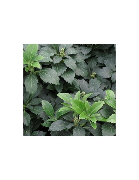 """Pachysandra terminalis """"Green sheen"""""""