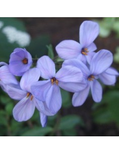 "Phlox rampant ""Blue ridge"""