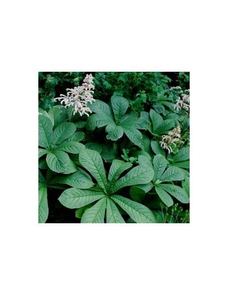 Rodgersia à feuilles de sureau