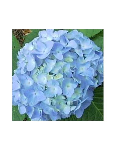 "Hortensia ""Nikko blue"""