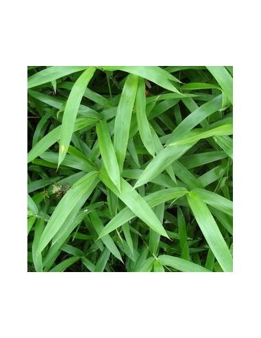"""Bambou nain """"pumilus"""""""