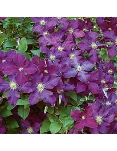 """Clématite italienne """"Etoile violette"""""""
