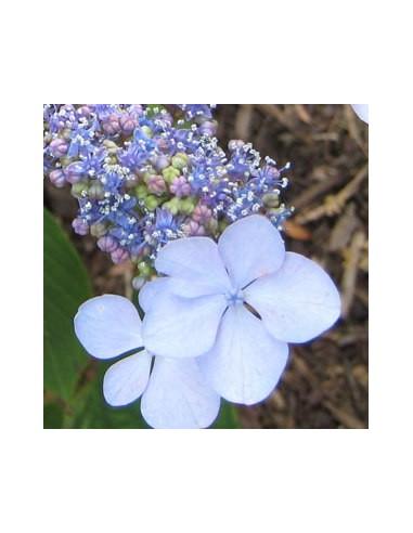 "Hortensia ""Blue bird"""