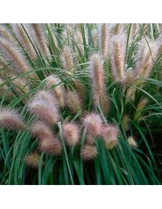 """Herbe aux ecouvillons """"Red head"""""""