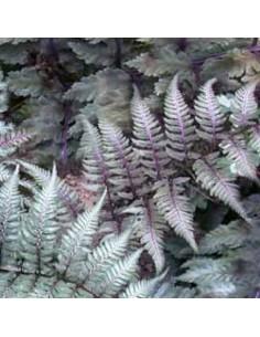 """Athyrium niponicum """"Metallicum"""""""