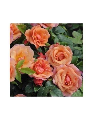"""Rosier à fleurs groupées """"Aprikola"""""""