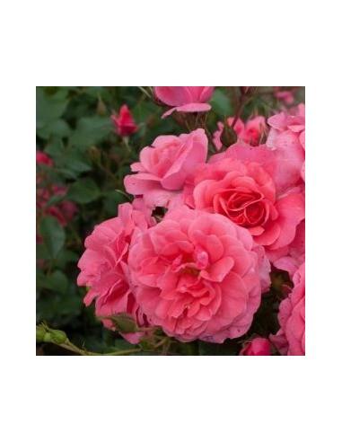 """Rosier à fleurs groupées """"Bad Birnbach"""""""