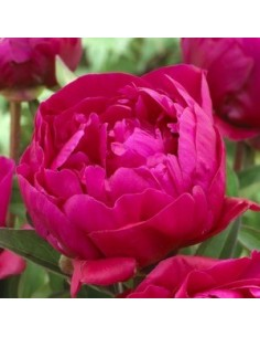 "Pivoine de Chine ""Karl Rosenfield"""