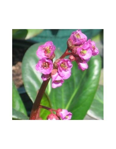 Plante des savetiers