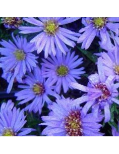 Aster nain Lady in blue