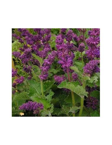 """Sauge verticillée """"Purple rain"""""""