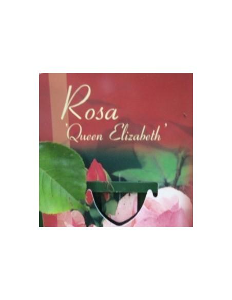 """Rosier polyantha """"Queen Elisabeth"""""""