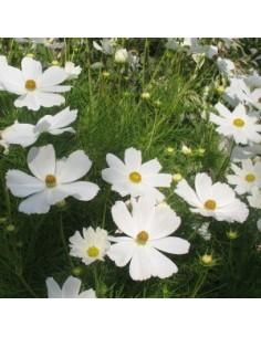 Cosmos bipenné blanc