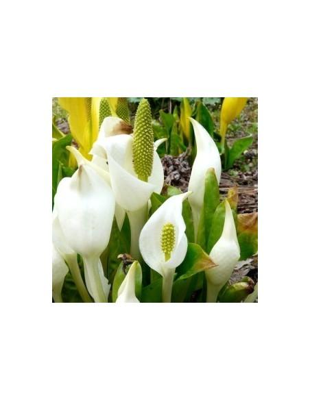 Arum bananier blanc