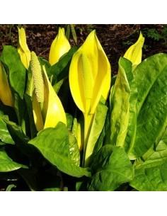 Arum bananier jaune