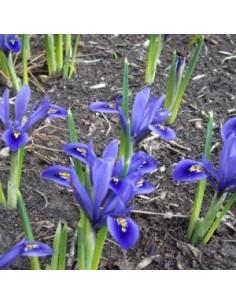 """Bulbes d'iris réticulé"""" *25"""