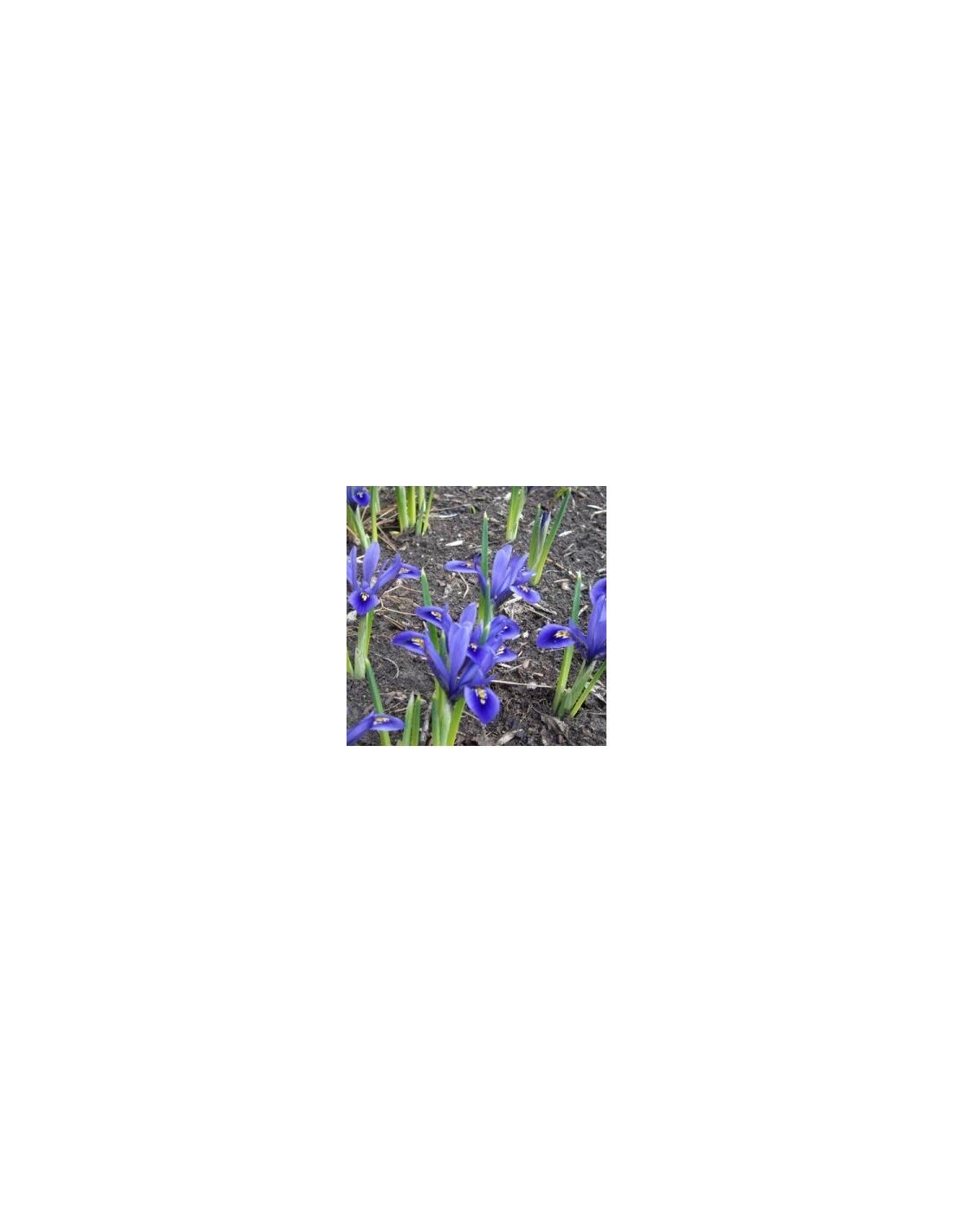 Bulbes d 39 iris r ticul 25 les jardins d 39 hauti re for Arrosage des bulbes