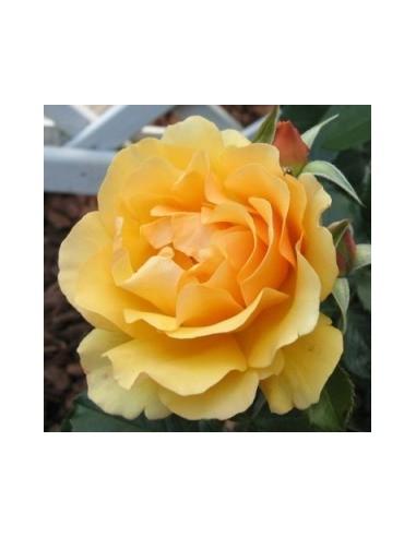 Rosier floribunda Amber queen