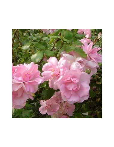 "Rosier floribunda ""Centenaire de Lourdes"""