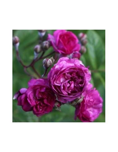 Rosier liane marie viaud les jardins d 39 hauti re - Taille rosier liane ...