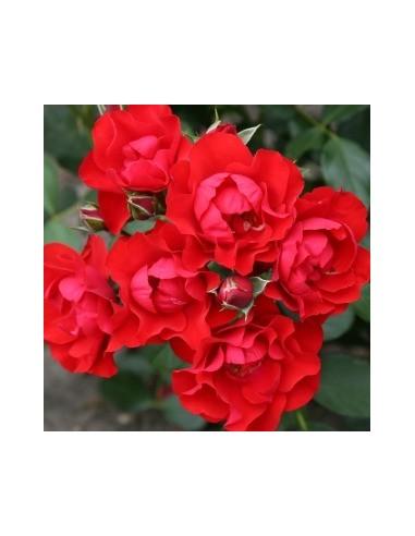 "Rosier hybride ""Black forest rose"""