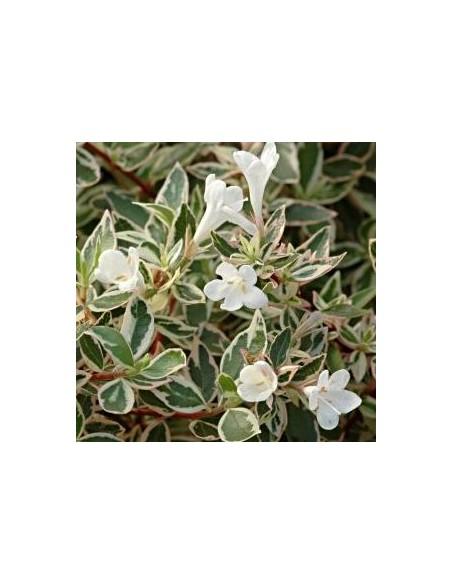 """Abelia à grandes fleurs """"Confetti"""""""