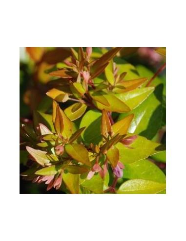 Abelia à grandes fleurs Francis Mason