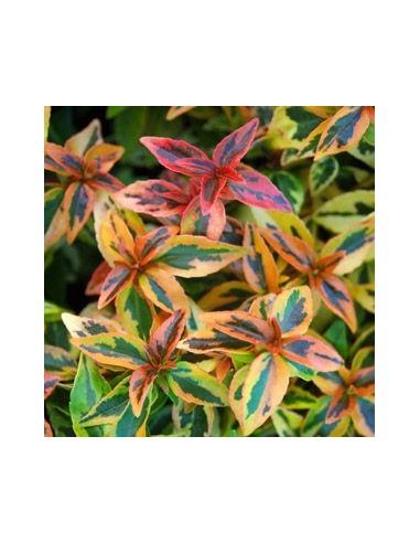 Abelia à grandes fleurs Kaleidoscope