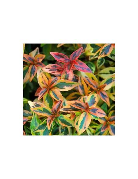 "Abelia à grandes fleurs ""Kaleidoscope"""
