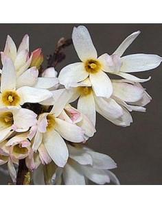 Forsythia blanc de Corée