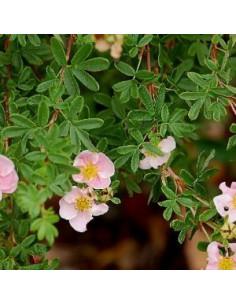 "Potentille arbustive ""pink princess"""
