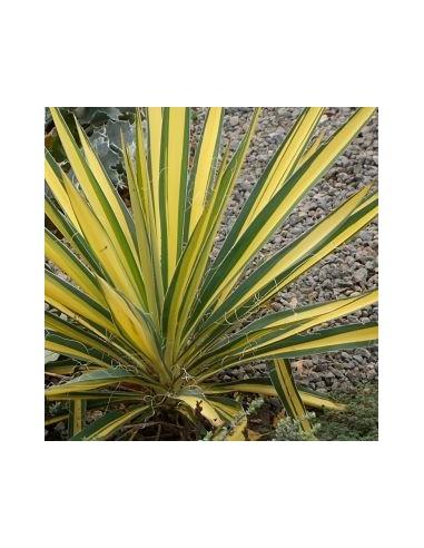 """Yucca filamenteux """"Color guard"""""""