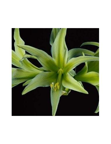Amaryllis hybride Charisma