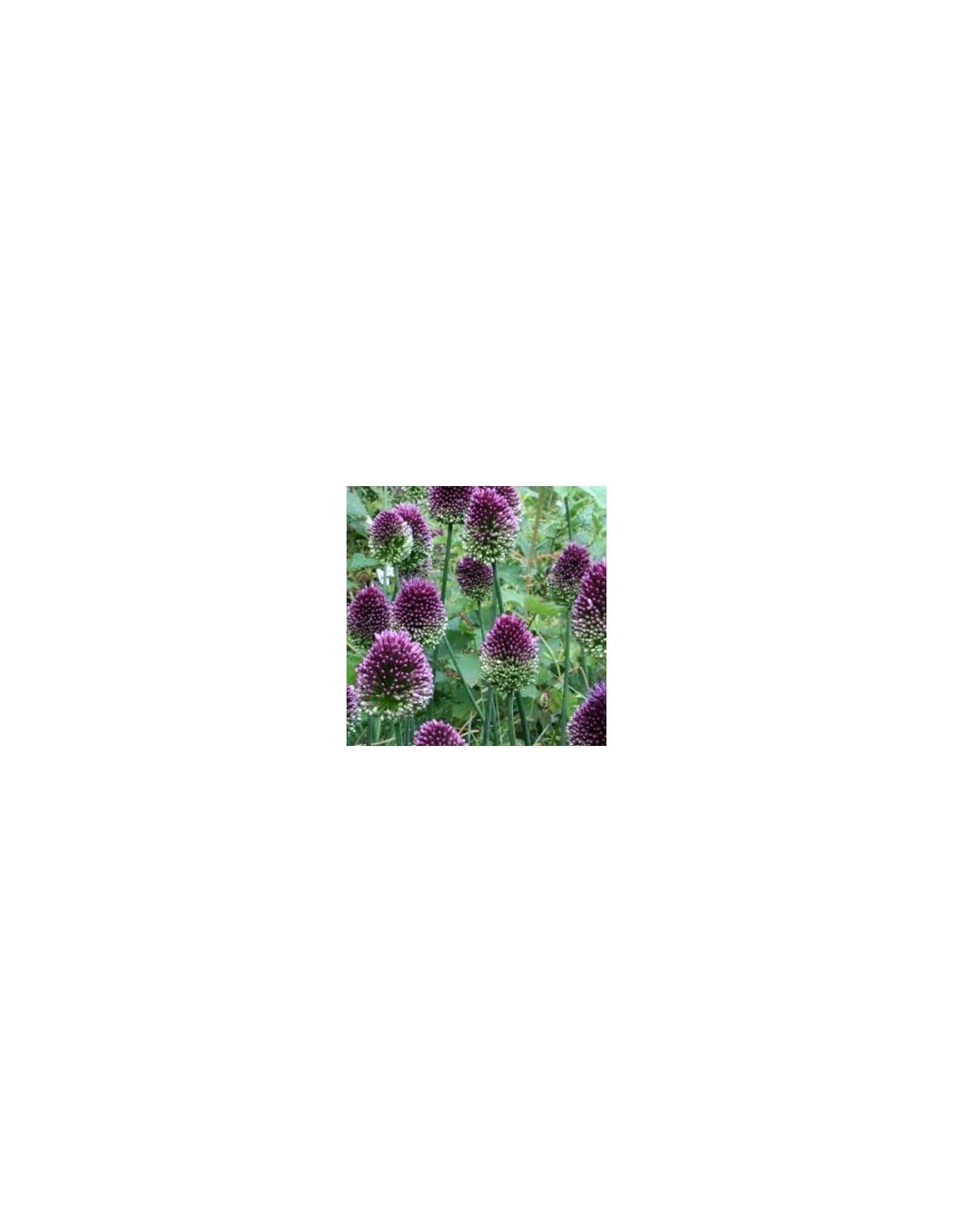 bulbes ail d 39 ornement t te ronde 25 les jardins d 39 hauti re. Black Bedroom Furniture Sets. Home Design Ideas