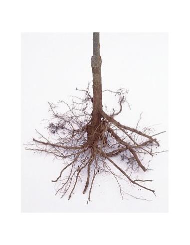Enduit de racines