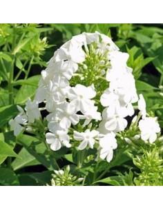Phlox paniculata Fujiyama