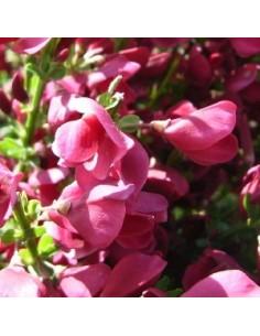 Genêt Boskoop ruby
