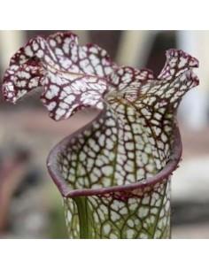Sarracène Leucophylla