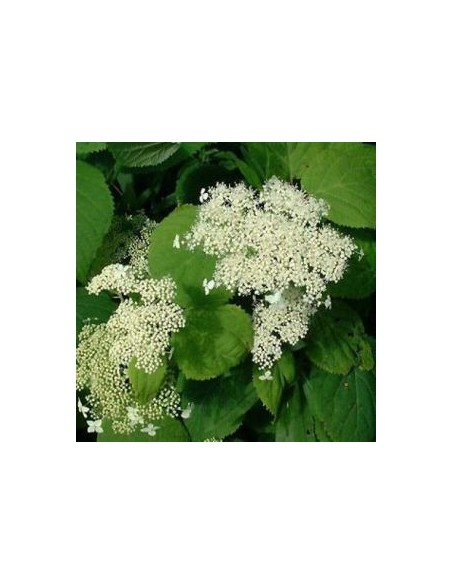 "Hortensia de Virginie ""Hills of snow"""
